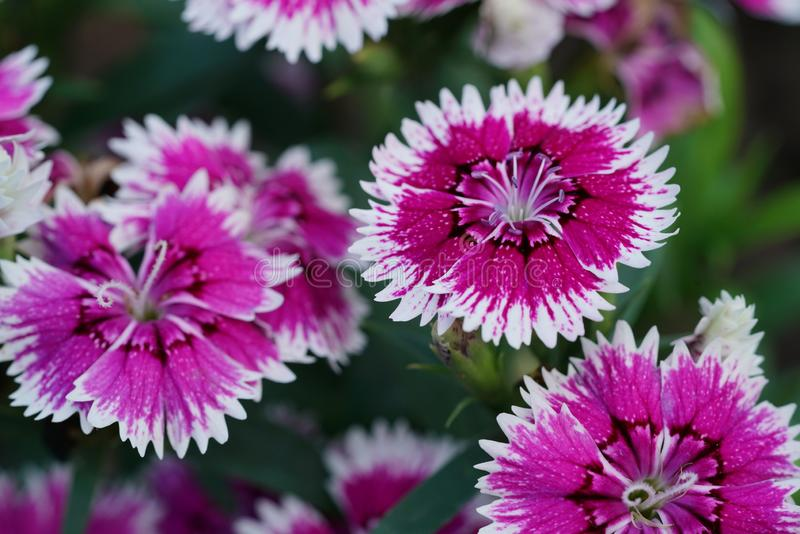 Closeup of red white Dianthus flower Dianthus chinensis in garden.  royalty free stock photo
