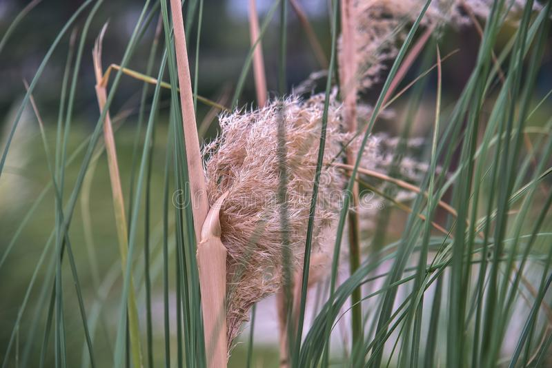 Closeup of reed in autumn stock images