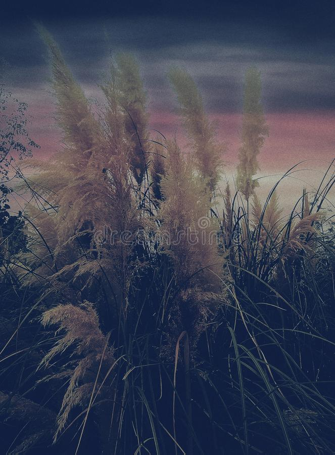 Closeup of reeds with sunset view royalty free stock images