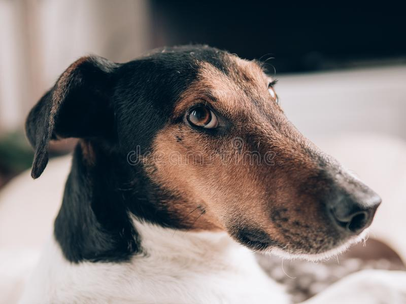 A closeup of a relaxed dog at home. Cute terrier dog portrait stock images