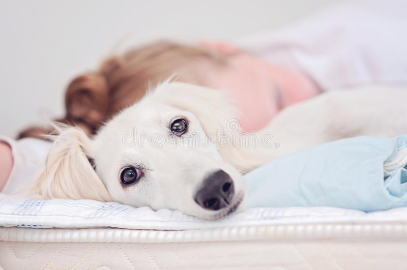 A closeup of a relaxed dog, little cute white saluki puppy persian greyhound together with a young girl who owns the pet. A. Tired teenager is resting blurry on royalty free stock photography