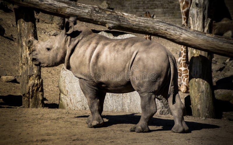 Rhino calf walking stock photos