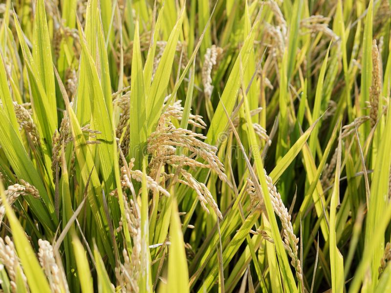 Closeup of rice paddy in rice fields and rice plantation in China. Organic rice farm in Asian. Agriculture background. Main dishes for Chinese people. Organic royalty free stock images