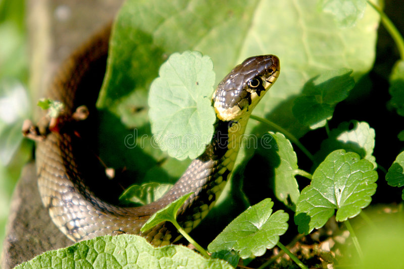 Closeup of a ringed snake. A ringed snake is spying for food, for instance frogs at the edge of the pond of our garden royalty free stock image