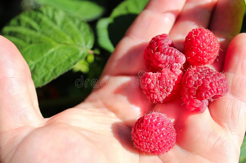 Closeup of ripe raspberries in a hand with leaves in the background.  royalty free stock photography