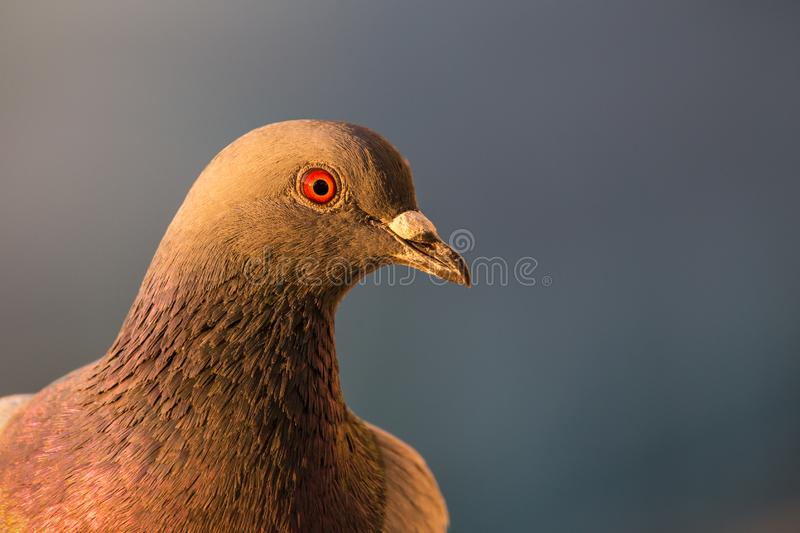 Closeup of a Rock Pigeon on my balcony royalty free stock images