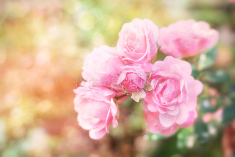 Romantic pink rose flower garden in soft pastel tone with bokeh light background stock images