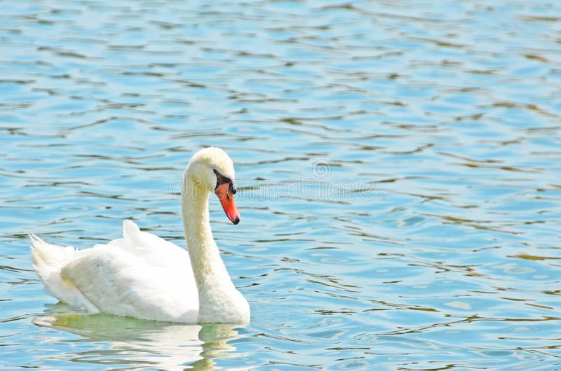 A beautiful white mute swan floating on a reflective aquamarine pond. Closeup with room for copy of elegant white mute swan floating on turquoise rippled water stock image
