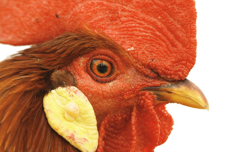 Download Closeup Of Rooster Eye Royalty Free Stock Image - Image: 33457036