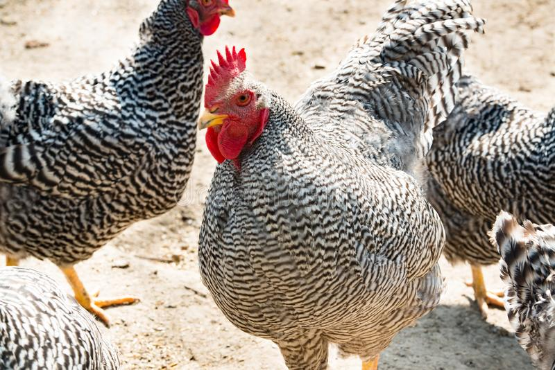 Rooster and hens, beautiful rooster and hens with black and white feathers, outside royalty free stock photography