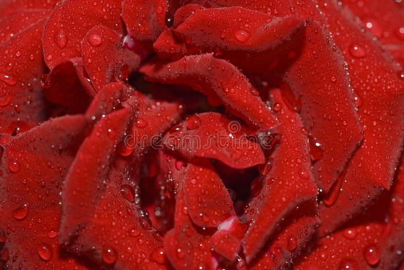 Closeup Of Rose Bud With Water Droplets Stock Photo