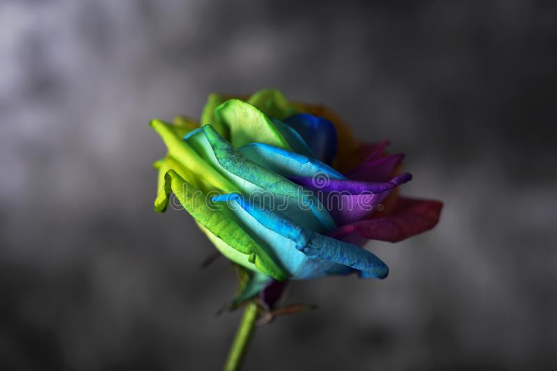 Rainbow rose. Closeup of a rose with its petals with the colors of the rainbow flag against a dark background with some blank space around it stock photos