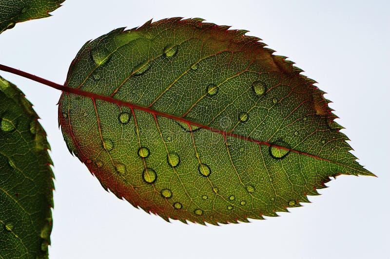 Closeup of rose leaf stock images