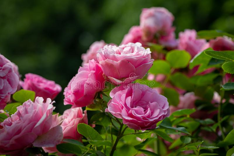 Closeup of a rose with many pink blossoms stock image