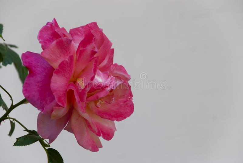 Rose on a neutral background. Closeup of a rose on a neutral background, spring, summer royalty free stock photo