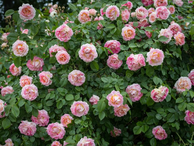 Closeup of a rose with many pink blossoms royalty free stock image