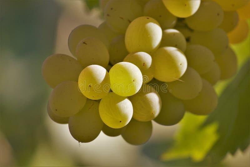 Closeup of round ripe grapes royalty free stock photo