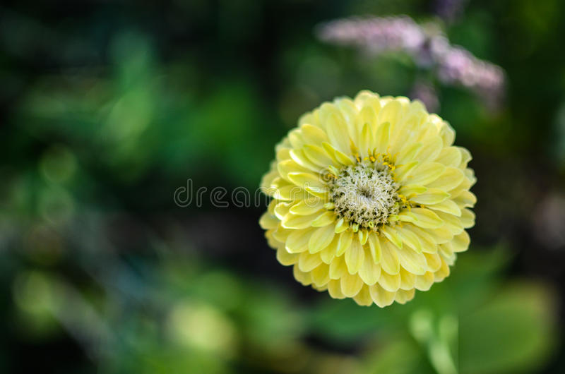Closeup of round yellow zinnia flower in a garden with green leaves download closeup of round yellow zinnia flower in a garden with green leaves stock image mightylinksfo Choice Image