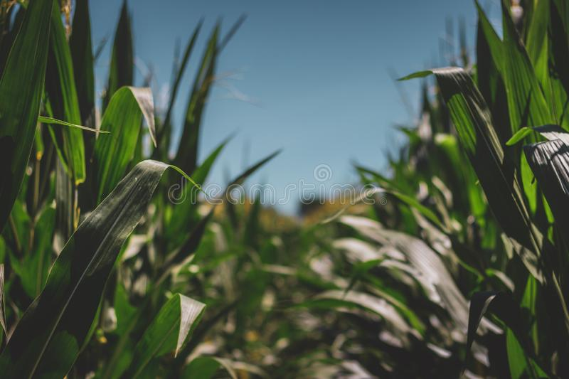 Rows of Corn. Closeup of rows of tall corn stalks on a summer day with clear blue sky, LaPorte, Indiana royalty free stock photography