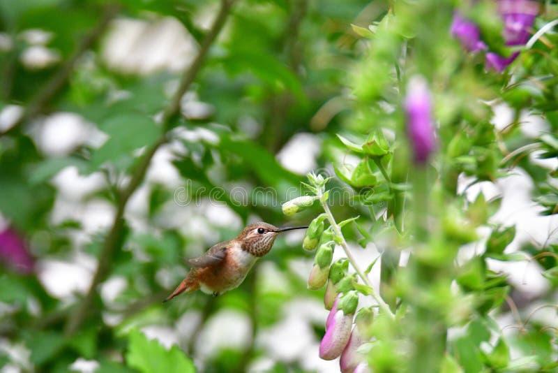A closeup of Rufous hummingbird hovering near the flowers.  stock photos