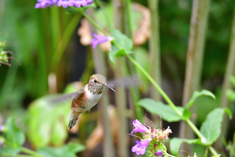 A closeup of Rufous hummingbird hovering near the flowers.  royalty free stock photography
