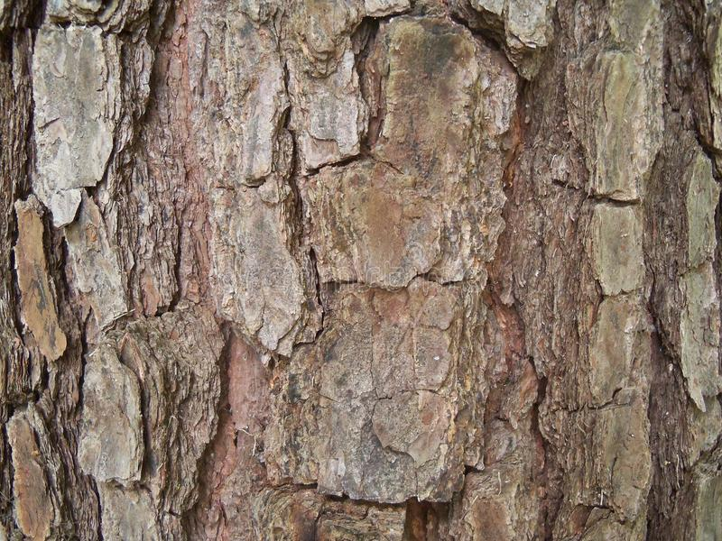 Closeup of the rugged bark of a pine tree. Closeup of the rugged scaly bark of a very old pine tree in the Southern forest royalty free stock photos