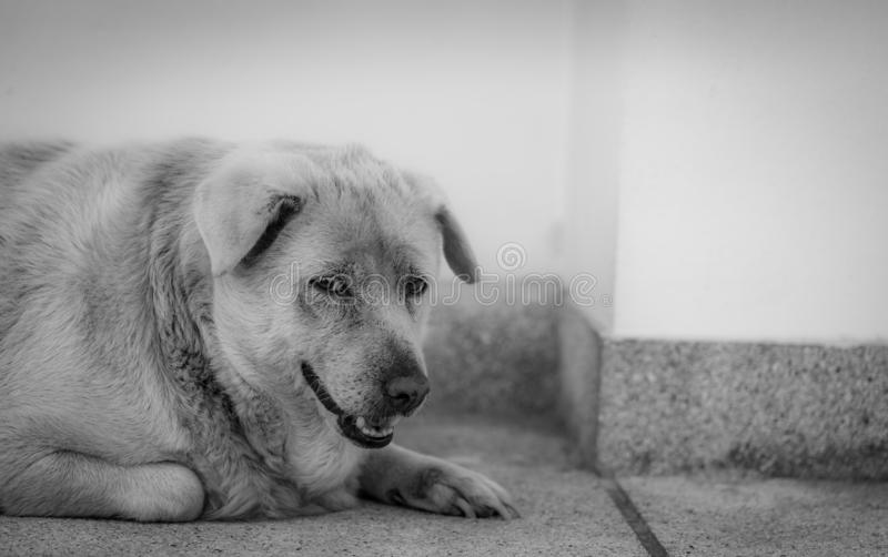 Closeup sad dog lying on concrete floor. Fat dog bored for waiting owner. Expression face of domestic animals. Adorable pet. Tired stock images