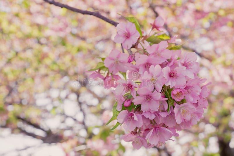 Closeup sakura blooming. In spring royalty free stock photos