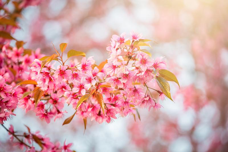 Sakura flower in Japan. Closeup of sakura flower in Spring season at Japan stock photos