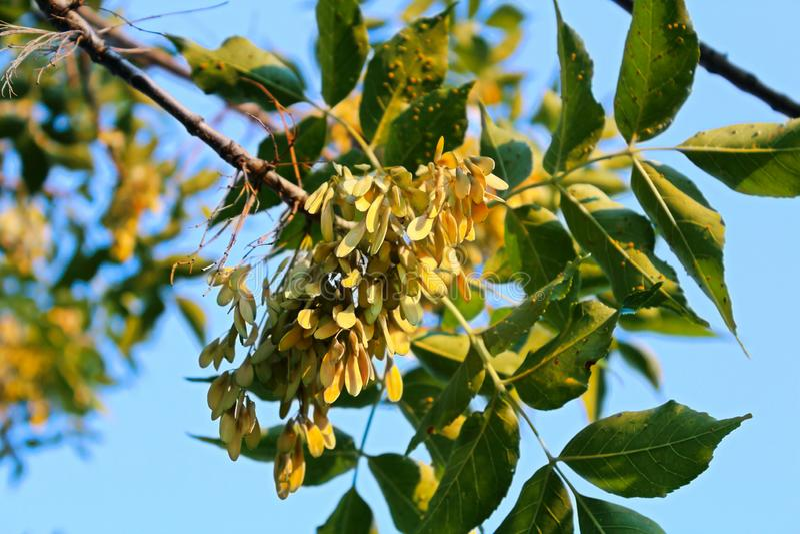 Closeup of samara on a Green ash tree in the summer royalty free stock photos