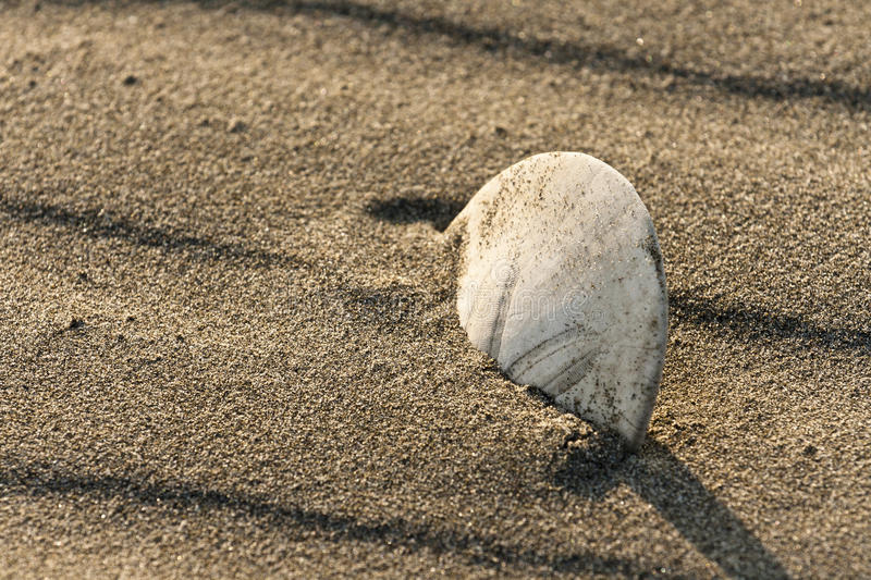 Download Closeup on a Sand Dollar stock photo. Image of outdoor - 29176470