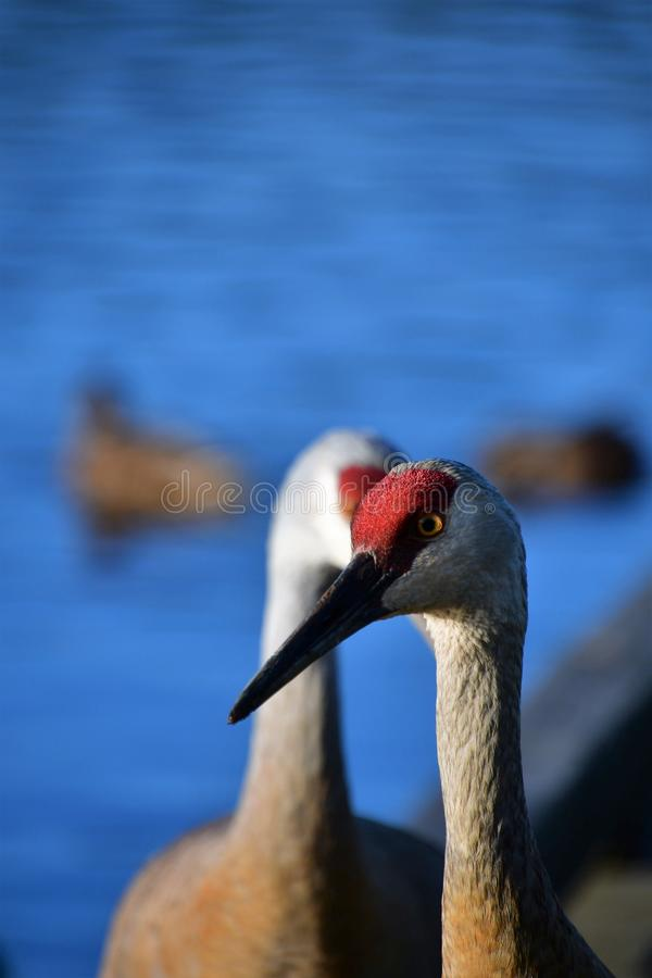 A closeup of Sandhill Cranes perching on the pier. royalty free stock photo