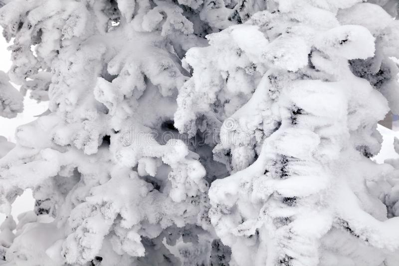 Closeup scenic macro view snow-capped trees. Concept Swiss Alps royalty free stock images