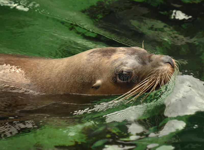 Download Sealion swimming stock photo. Image of pinnipeds, blubber - 30243150