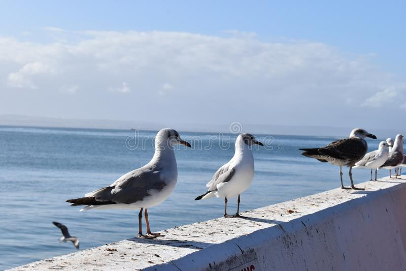 Closeup of seagulls in Mossel Bay, South Africa. Closeup of seagulls standing on a stone wall in Mossel Bay, South Africa stock photography