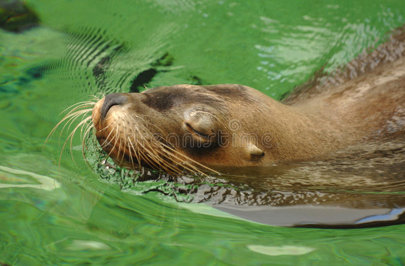 Download Sealion stock image. Image of lion, green, nonchalant - 30243157