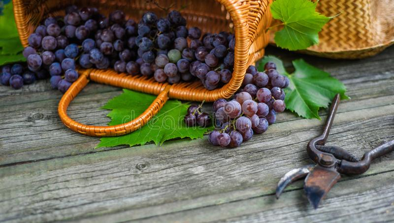 Closeup secateurs beside basket with grapes on vintage rustic wooden table. Wine making. Background royalty free stock image