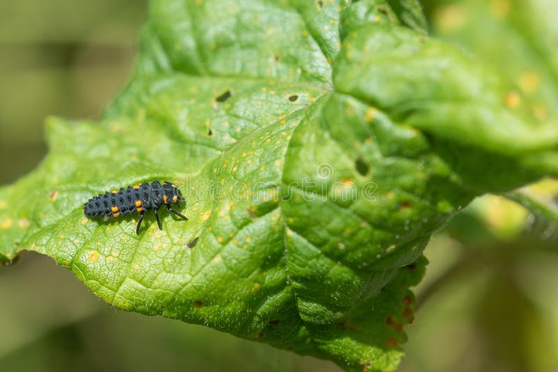 Closeup Of Ladybug Larvae. Second Stage. Closeup of the second stage of ladybird growth. This is called the larvae stage royalty free stock image