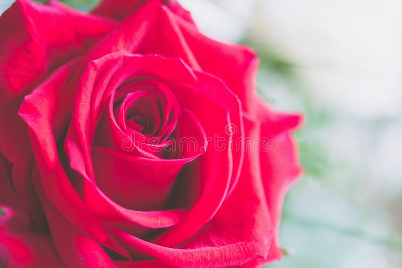 Closeup selective focus shot of a beautiful red rose indoors with a blurred background royalty free stock photos