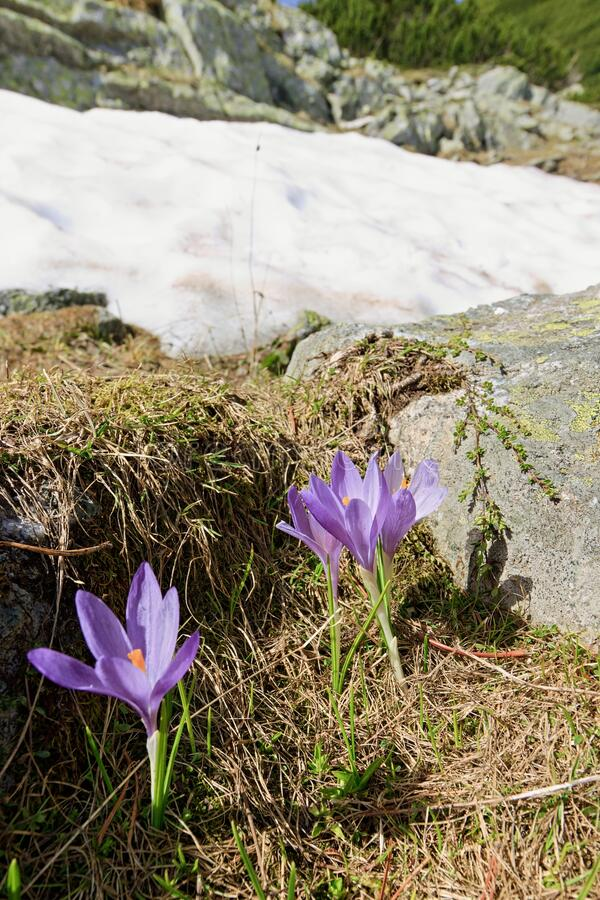Closeup of several violet Crocus flowers on mountain meadow in early summer. Beautiful blooming flowers with snow in background,. Rila mountains, Bulgaria stock photography