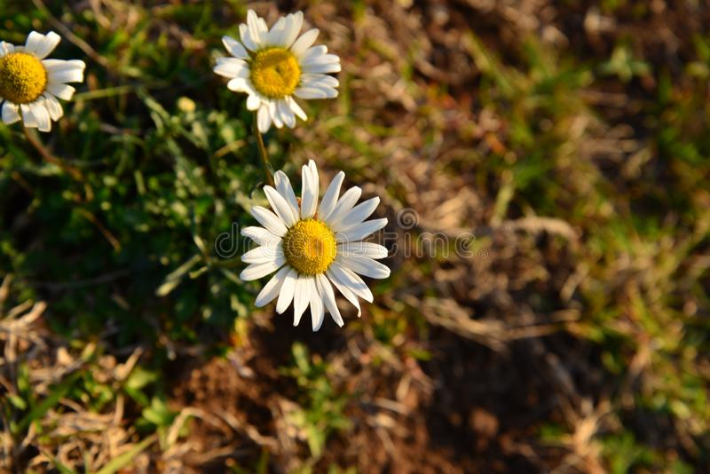 Closeup shallow focus shot of Oxeye daisies growing in the middle of a field stock photography