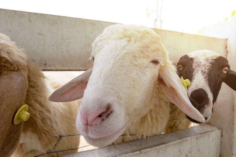 Sheep in farm,thailand. Closeup sheep in farm,thailand stock photo