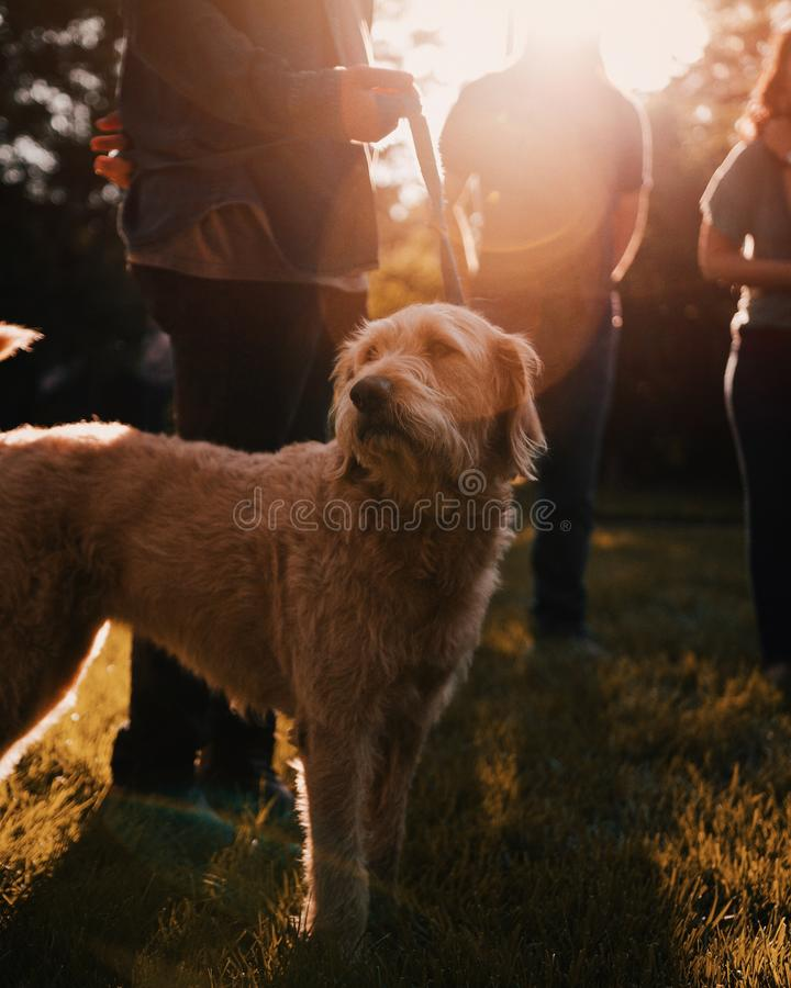 Closeup shot of an adult dog on a leach with people around. A closeup shot of an adult dog on a leach with people around royalty free stock photography