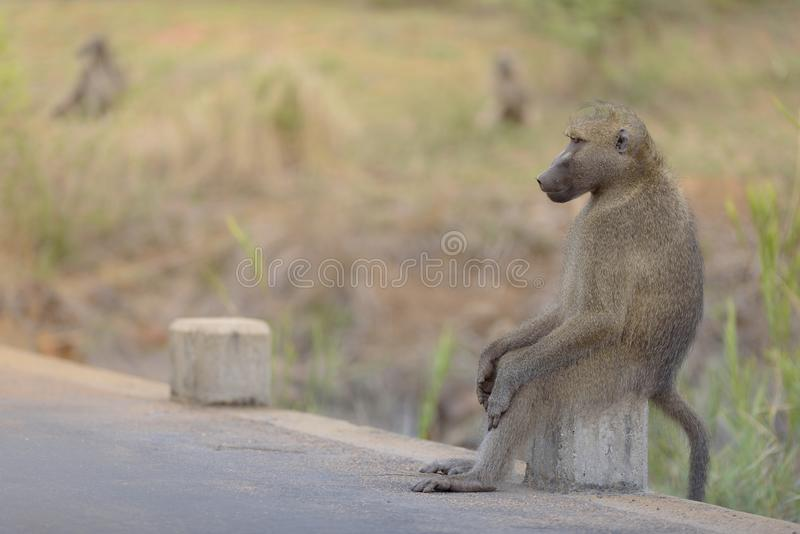 Closeup shot of a baboon sitting on a rock on the side of a road. A closeup shot of a baboon sitting on a rock on the side of a road royalty free stock images
