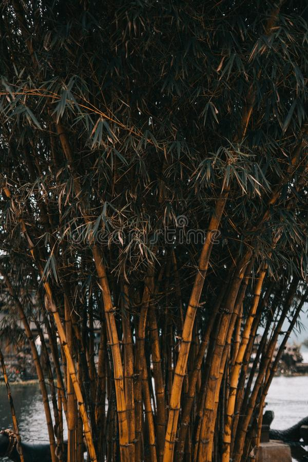Closeup shot of bamboo trees at daytime. A closeup shot of bamboo trees at daytime royalty free stock photo