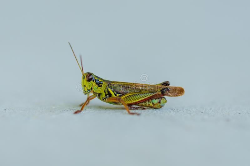 Closeup shot of a band winged grasshopper isolated on a white background royalty free stock photos