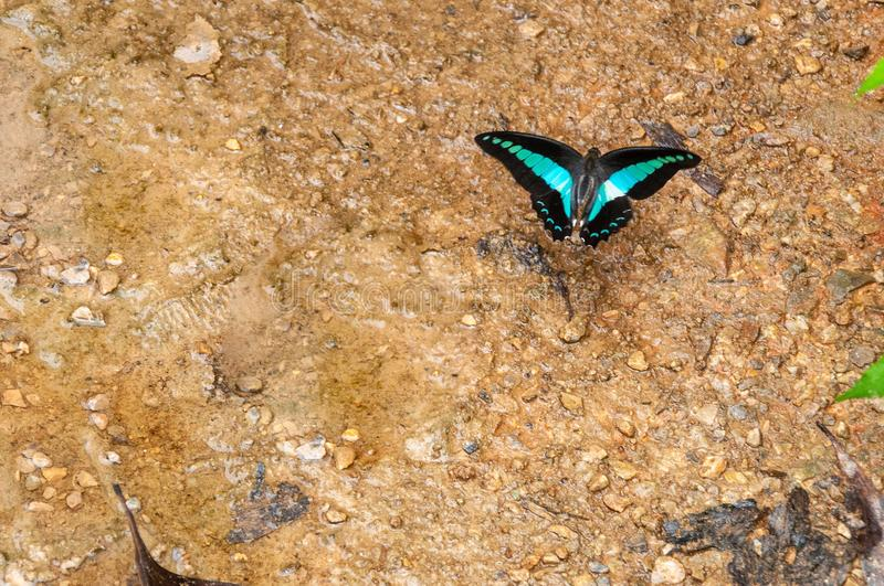 Closeup shot of a beautiful blue and black butterfly on the wet ground. A closeup shot of a beautiful blue and black butterfly on the wet ground stock photos