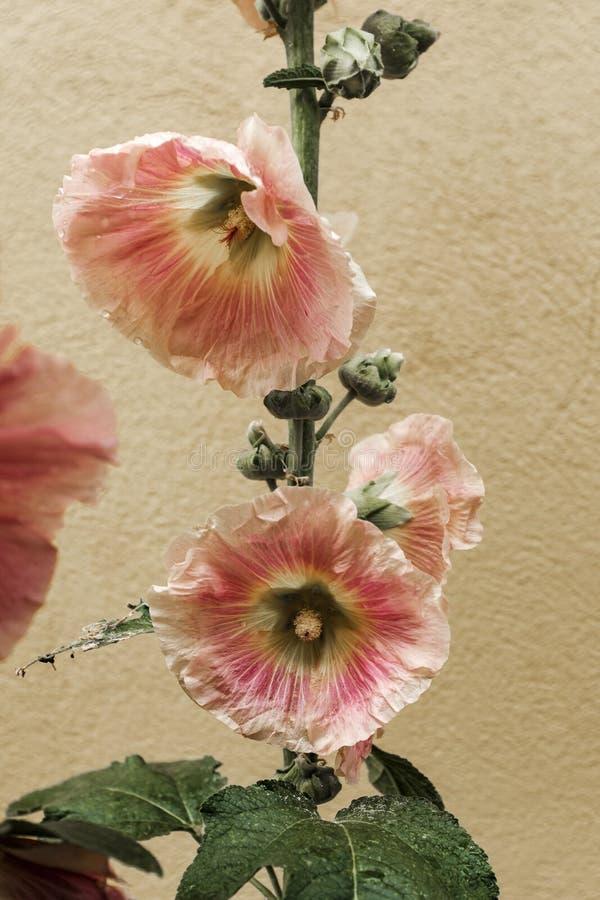 Closeup shot a beautiful Hawaiian hibiscus growing inside a house royalty free stock photography