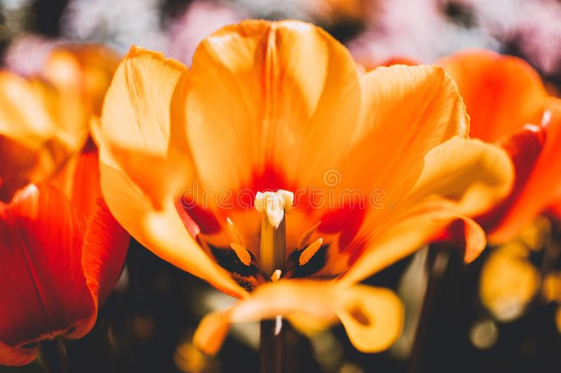 Closeup shot of a beautiful orange tulip growing in the garden royalty free stock image