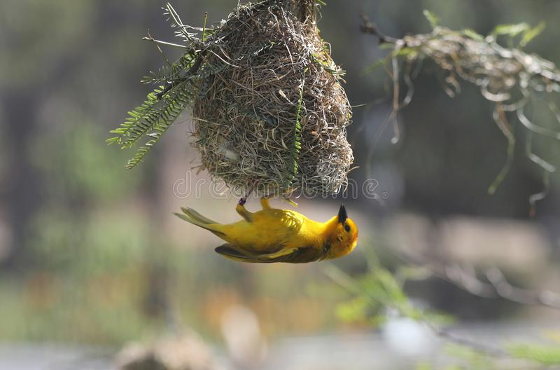 Closeup shot of a beautiful small yellow bird under its nest on a blurred background. A closeup shot of a beautiful small yellow bird under its nest on a blurred royalty free stock photos